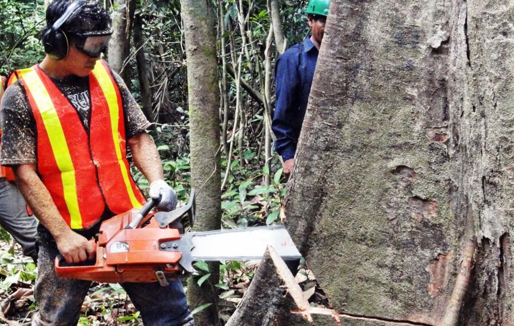 Seis comunidades indígenas de Ucayali exportarán a Estados Unidos madera procedente de sus bosques comunales que cuentan con certificación forestal voluntaria.