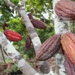 El Serfor también denunció que sus técnicos fueron amenazados y amedrentados cuando inspeccionaron la actividad de Cacao del Perú Norte en Tamshiyacu. (Foto referencial: Lino Chipana / Archivo El Comercio)