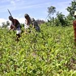 Indígenas asháninkas cosechan hojas de coca en el distrio de Pichari, en el centro de Perú. HUGO NED (AFP)
