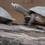 tortuga-mongabay