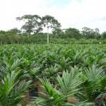La falta de controles para la concesión de plantaciones de palama aceitera elevaría la tasa de deforestación en 88 por ciento. Foto: secsuelo.org.