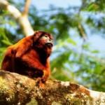 Mono aullador en el Parque Nacional Alto Purús.