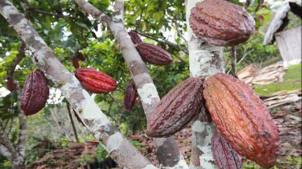 Filial de United Cacao deforestó 1.900 hectáreas de la Amazonía