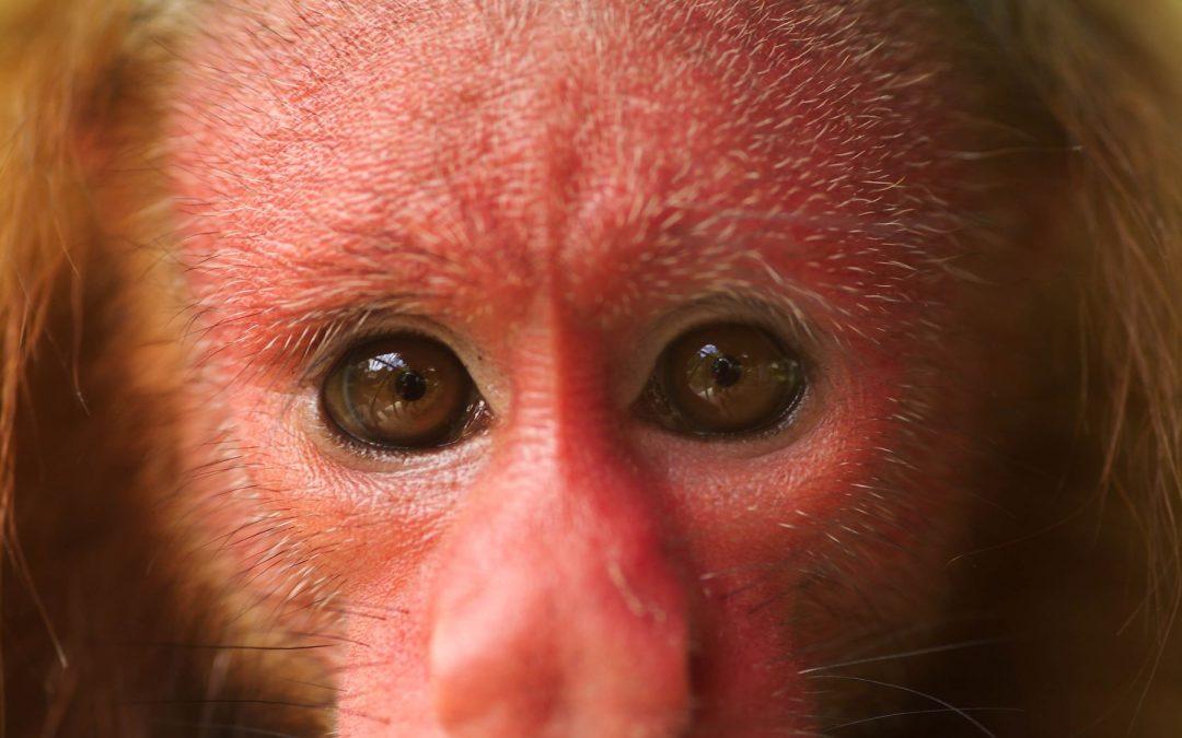 Plan Nacional de Conservación de Primates impulsa protección de 47 especies en Perú