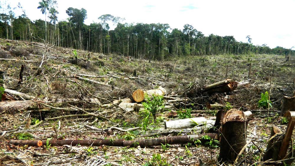 Palma aceitera: ¿enemiga del bosque amazónico?